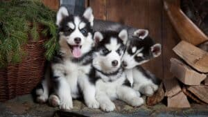 4 Clever Ways to Train Your Siberian Husky Puppy