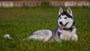Common Siberian Husky Problems & Solutions (Fully Explained)