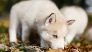 Husky Whelping Information: 4 Things You Need to Know (+FAQ)