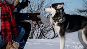 5 Clever Tips To Train Your Siberian Husky