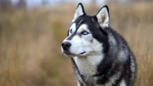 Siberian Husky Behavior And What To Expect