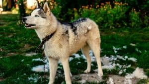 5 Best Husky Mixes That Don't Shed