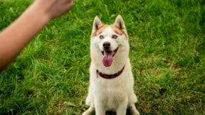 Are Huskies Hard to Train and Why?