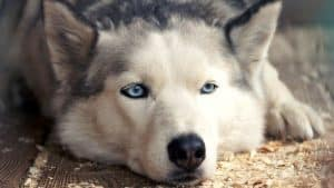 Are Huskies Stubborn? 9 Things You Should Know
