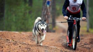 How Much Exercise Does A Husky Need? Read This First!