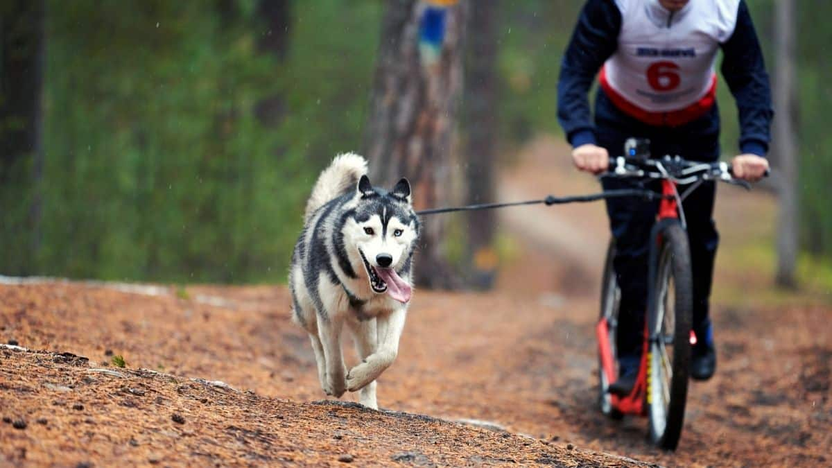 how much exercise does a husky need