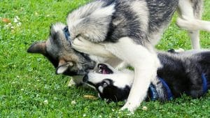 How Are Huskies Playing With One Another? (Explained for Beginners)