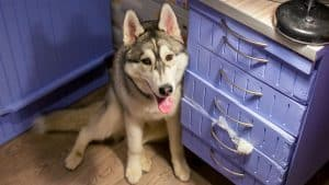 Is It Possible To Keep A Husky In An Apartment?