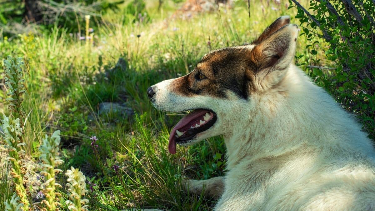 Take Care of Your Husky in Hot Weather
