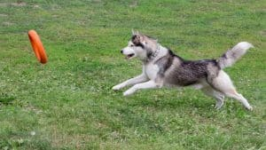 Can Huskies Catch Frisbees? 10 Things You Should Know