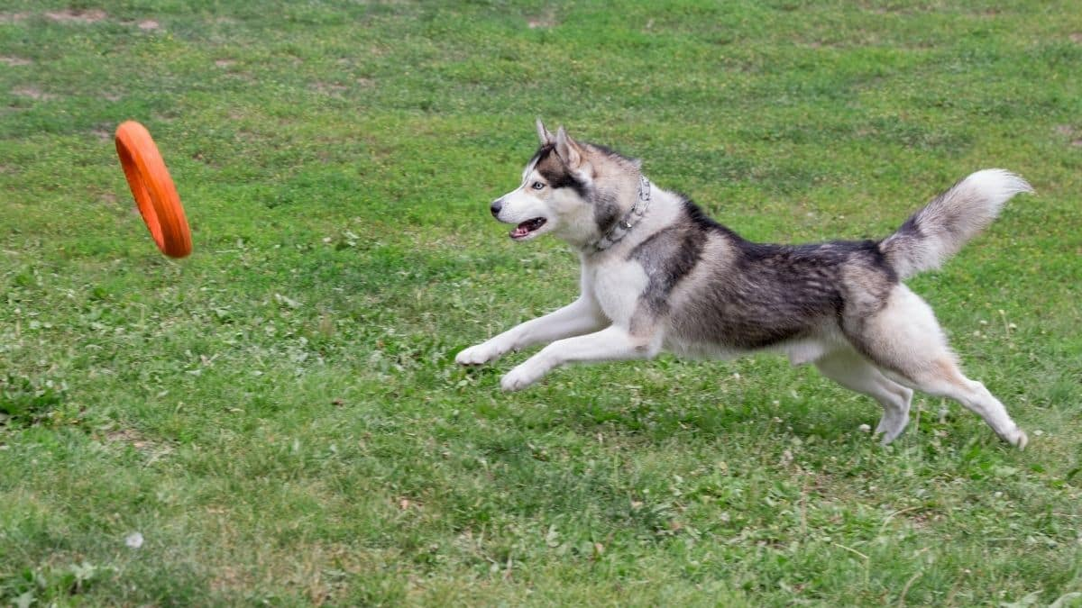 Can Huskies Catch Frisbees
