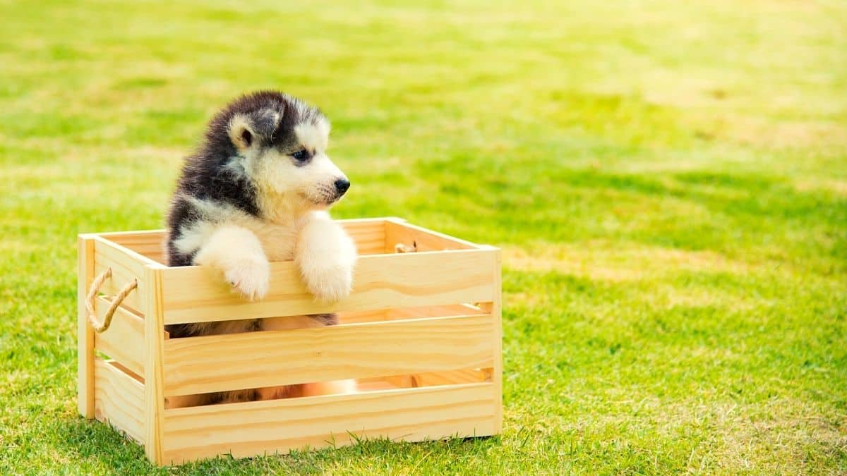 Can Huskies Only Have One Puppy