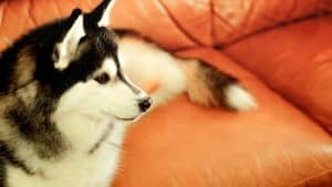 Can Huskies Watch TV? 6 Things You Should Know