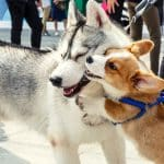 do huskies attack small dogs