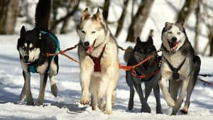 Do Siberian Huskies Change Colors? 7 Things You Need To Know