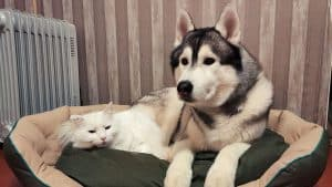 Do Siberian Huskies and Cats get Along? 7 Things You Should Know
