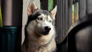 How Long Can Huskies Be Left Alone? 8 Important Facts