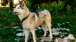 Huskies and Shedding: 9 Things You Should Know