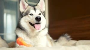 Husky & Body Language: 10 Important Things To Remember