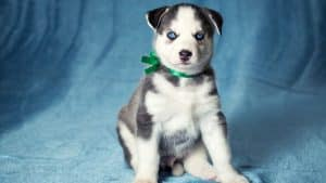 Husky Puppies And Their Ears: 6 Things You Should Know