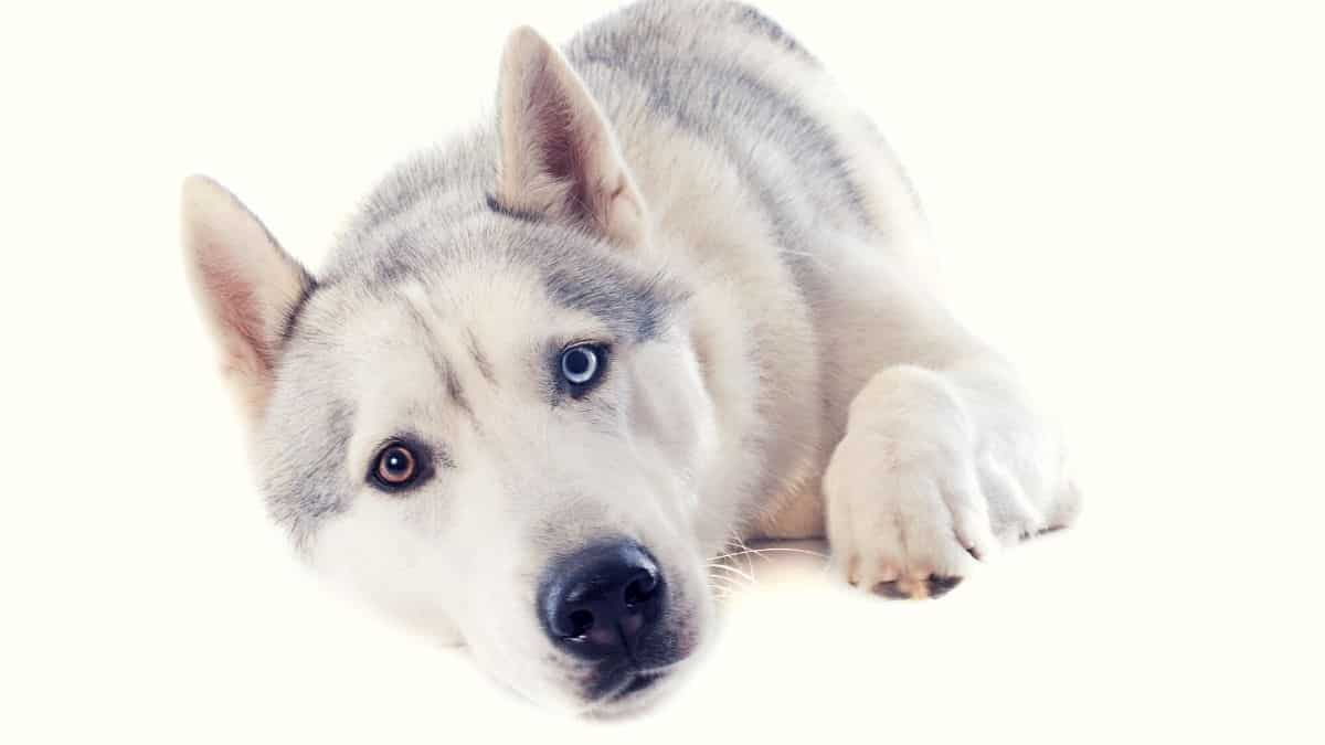 What Are Huskies Scared Of