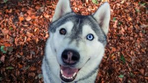 Why Do Huskies Have Different Colored Eyes? You Might Be Surprised