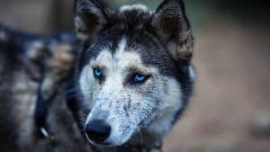 Do Huskies Smell? 6 Things to Do About It