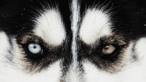 How Do Huskies Get Green Eyes? You Might Be Surprised