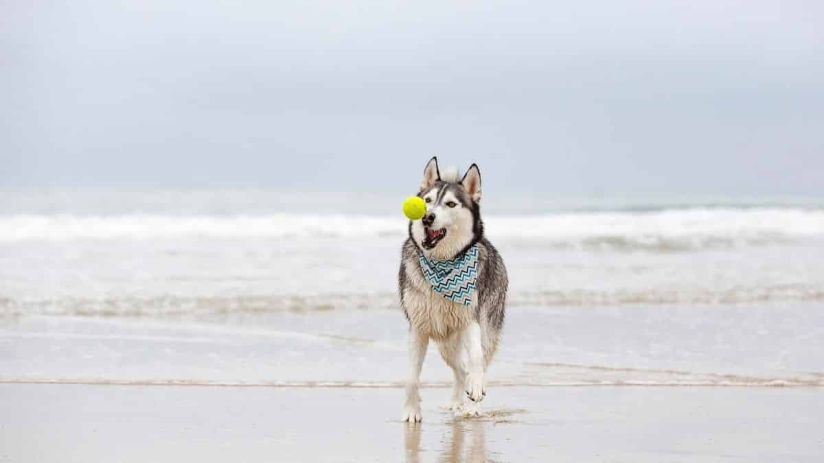Are Huskies Good At Fetch