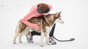 Are Huskies Good Running Partners? 5 Things You Must Consider