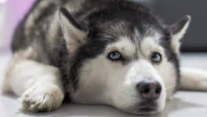 Are Huskies Drama Queens? 4 Answers You Need To Know