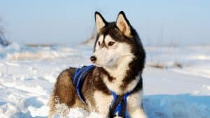 Are Siberian Huskies Endangered? 4 Things You Need To Know