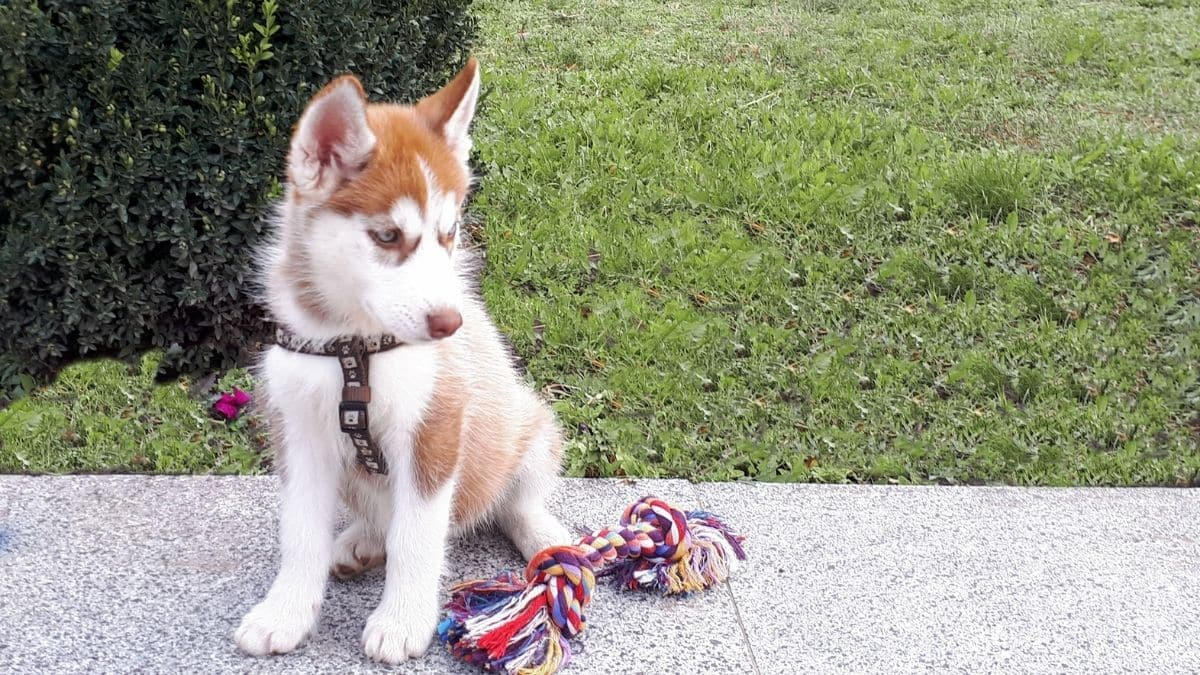 best toys for husky puppies