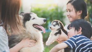 Do Siberian Huskies Need A Companion? 4 Things You Should Know