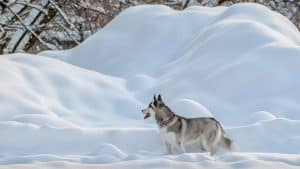 Huskies And Their Environment? 3 Things You Should Know