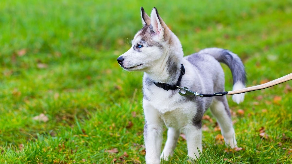 6 Best Leash For A Husky