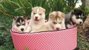 6 Best Dog Beds For A Husky (Buying Guide & Reviews)