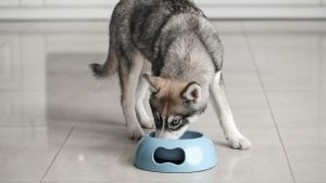 10 Best Dog Food For Huskies (Buying Guide & Reviews)