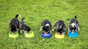 6 Best Food For A Husky Puppy (Buying Guide & Reviews)
