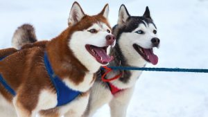 8 Best Harness For A Husky (Buying Guide & Reviews)
